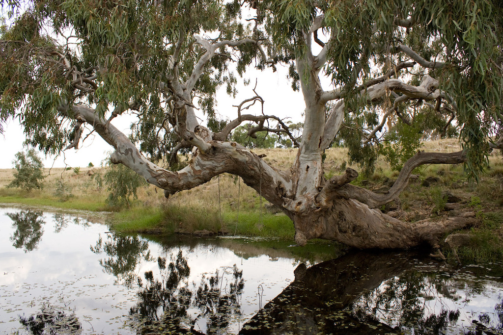 River red gum in Wyndham Vale, Victoria. Image: Rexness, Flickr
