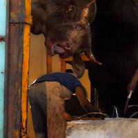 Imagen cortesía de Mercy for Animals e Igualdad Animal.