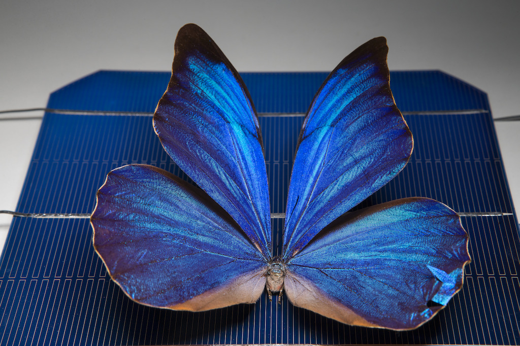 A blue Morpho butterfly on a solar cell. Image: Stuart Hay, ANU.