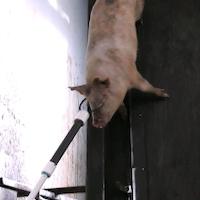 Imagen cortesía de Mercy for Animals e Igualdad Animal