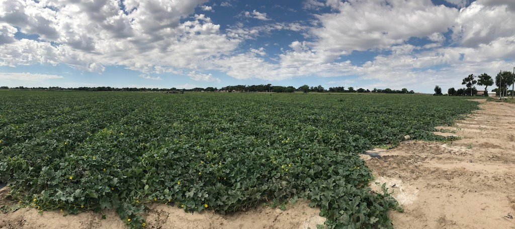 Rocky Ford Cantaloupe field during the 2017 growing season