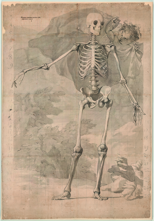 Jan Wandelaar, Preparatory drawing of a skeleton for Albinus, Tabulae sceleti et musculorum [Cat. 34], black chalk and grey wash, on paper, 1726 © University Library, Leyden, inv. BPL 1914 III.