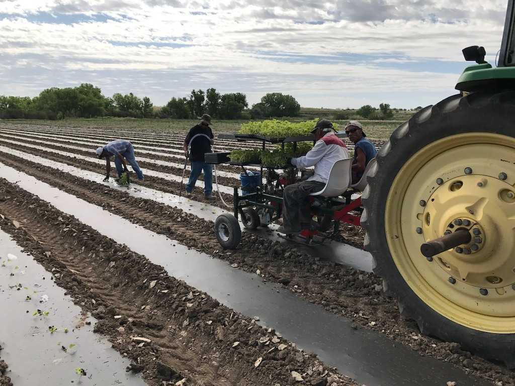 Workers plant Rocky Ford Cantaloupe during May 2017 planting season