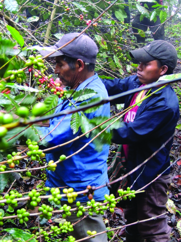 Indigenous farmers of Chiapas, Mexico pick coffee cherries destined for Equal Exchange and the Hanover Co-op Food Stores.