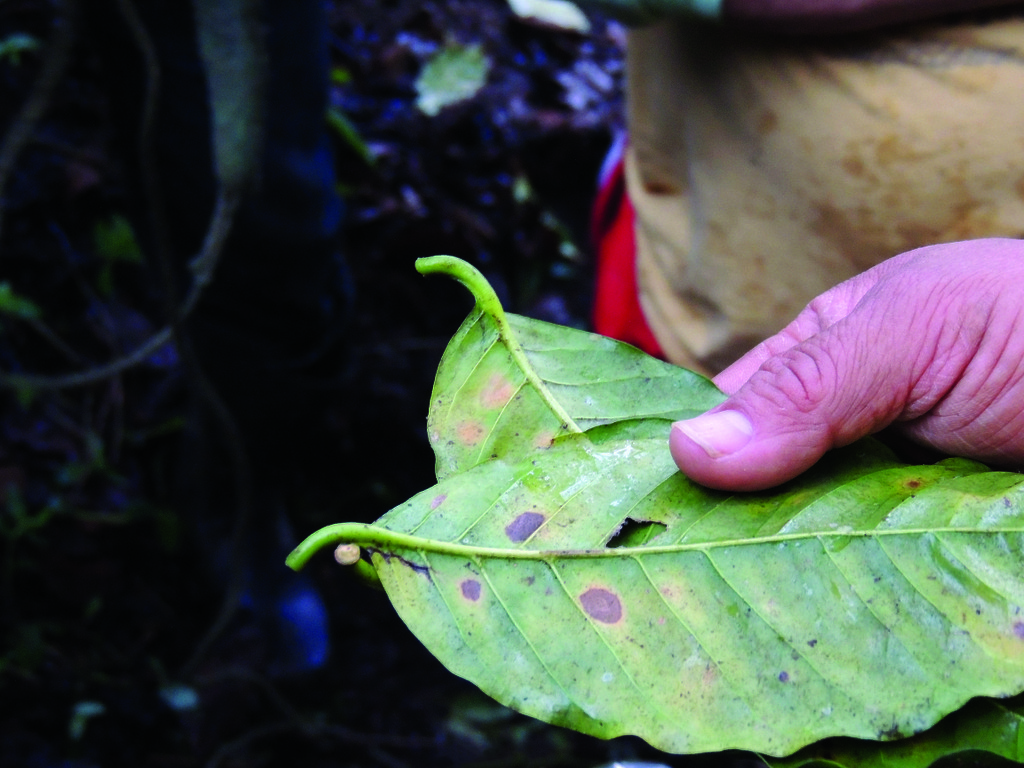 Leaf rust can quickly kill 80 percent of a farmer's trees.