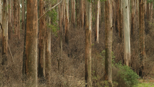ANU research finds Great Forests National Park a win for Victoria