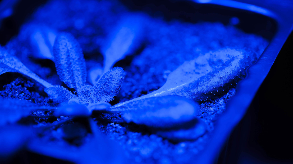 Plants learn to forget stressful weather events to rapidly recover