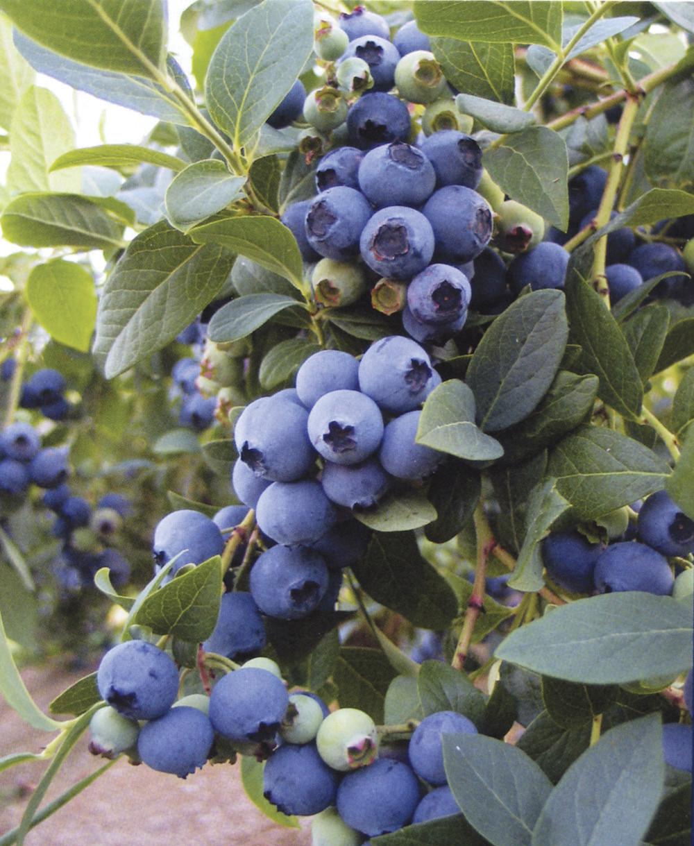 Pike Nurseries celebrates National Blueberry Month this July