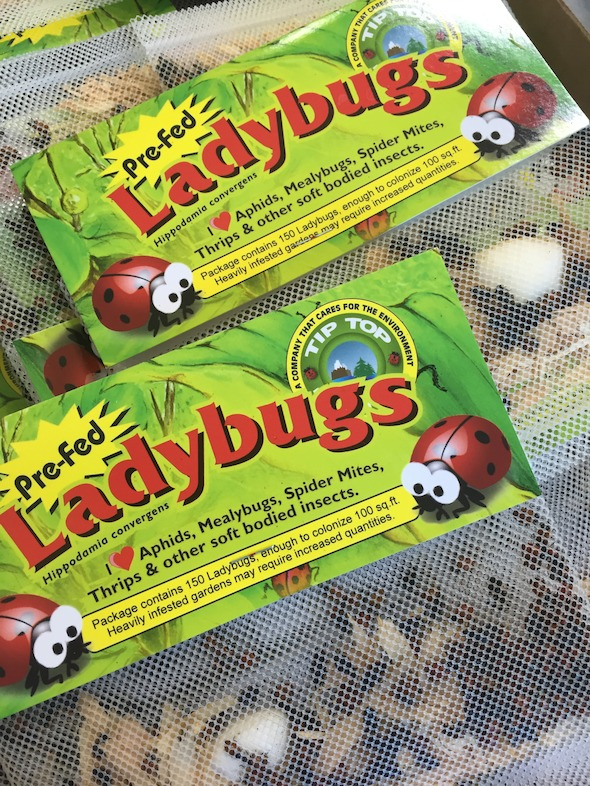 Lady Packets (photo credit Pike Nurseries)