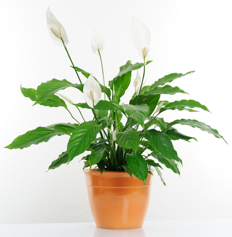 Peace Lily Spathiphyllum