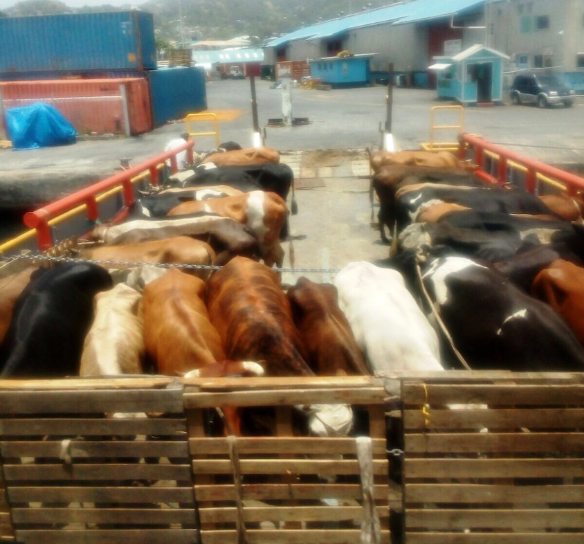 Cattle ready to be exported.