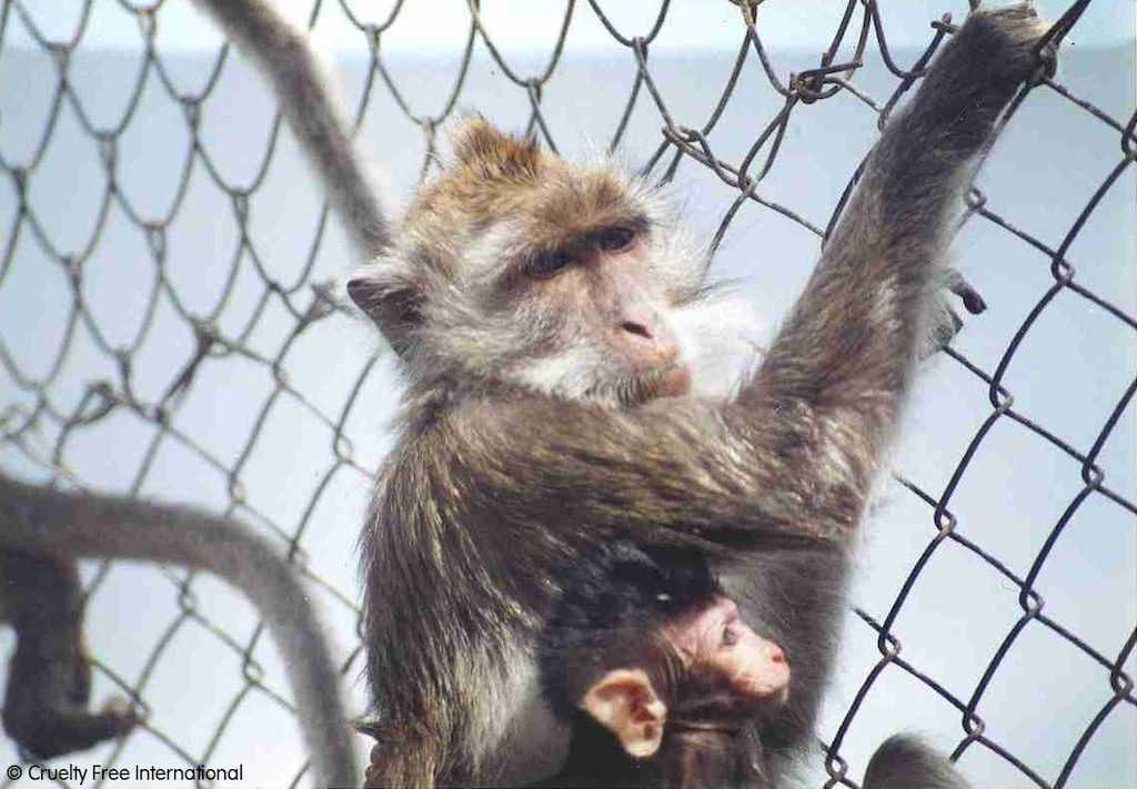 Mauritius monkey and baby wire mesh