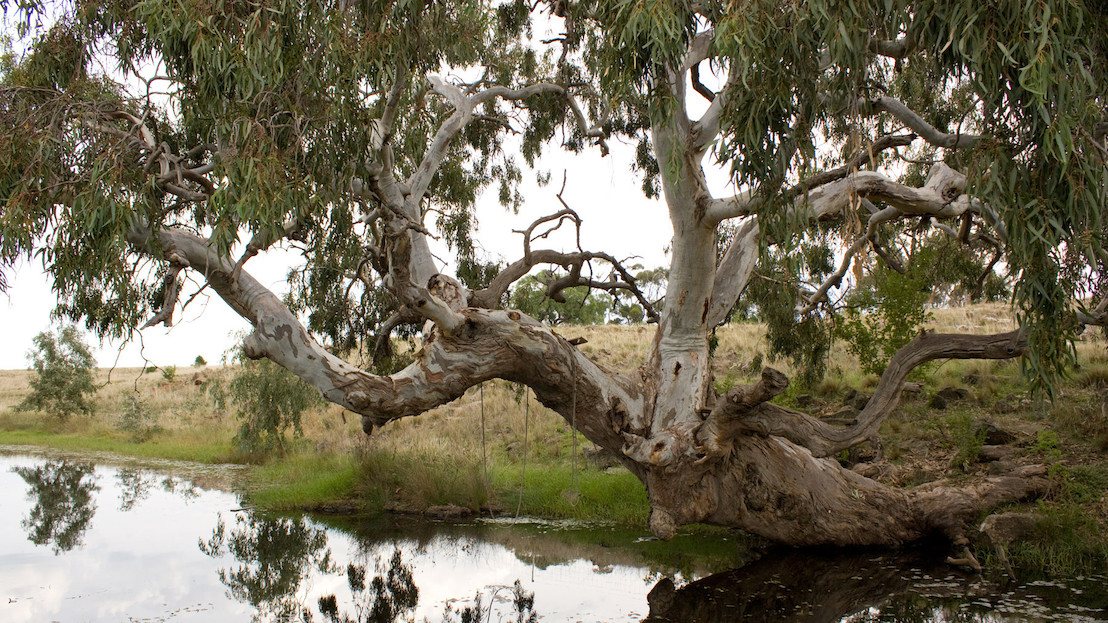 Iconic river red gums threatened by rising CO2 levels