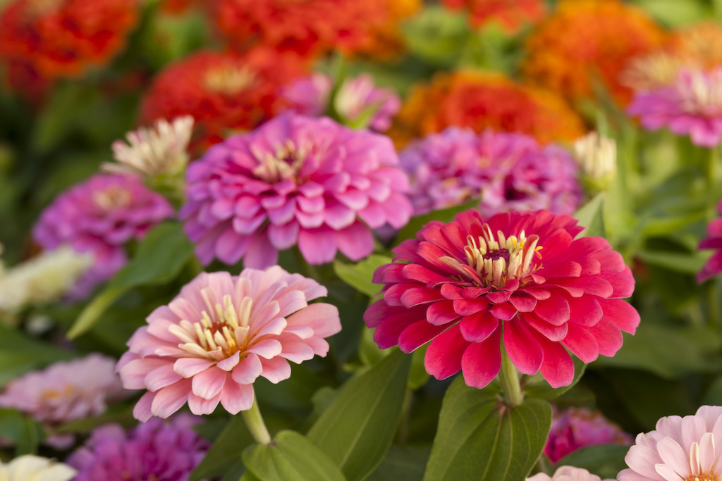 Assorted pink zinnias (photo credit Pike Nurseries)