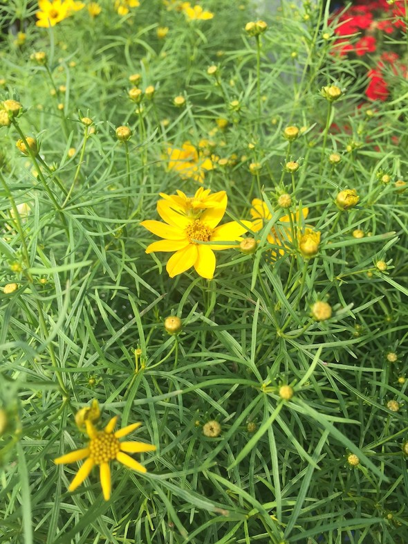 Coreopsis (photo credit Pike Nurseries)