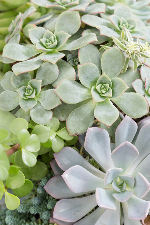 Succulents (photo credit Pike Nurseries)