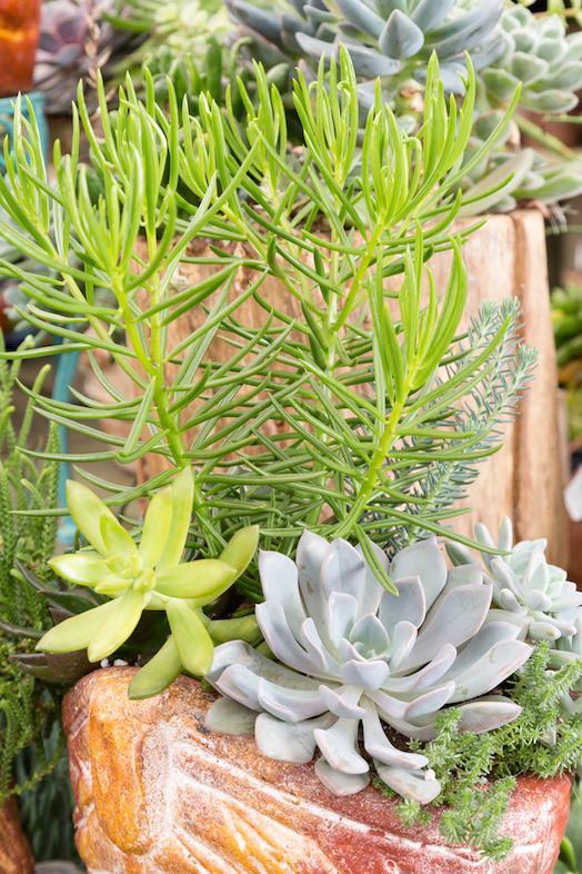 Succulent container garden (photo credit Pike Nurseries)