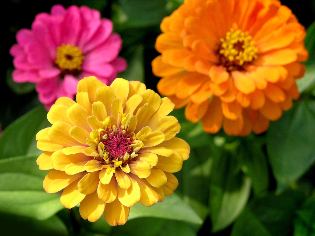 Zinnias (photo credit Pike Nurseries)