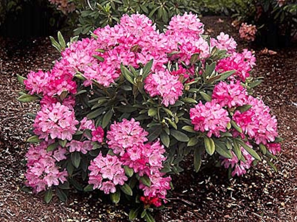Rhododendron (photo credit Pike Nurseries)