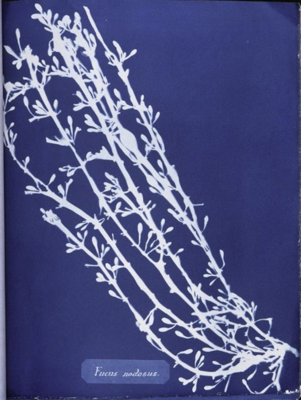 Photographs of British Algae: Cyanotype Impressions (1843)
